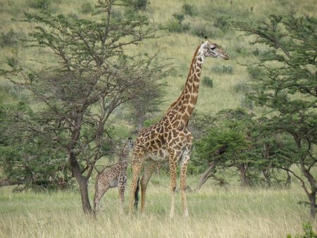 lake naivasha: Kenya Safari, Giraffe and baby in Masai Mara Stock Photo