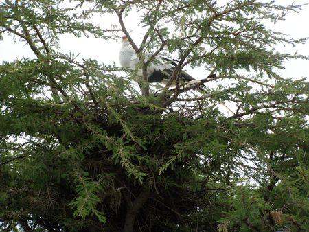 aberdares: Kenya Safari, Secretary Bird in Masai Mara