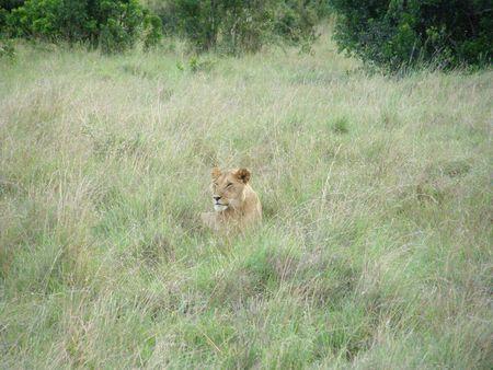 aberdares: Kenya Safari, Lioness in Masai Mara Stock Photo