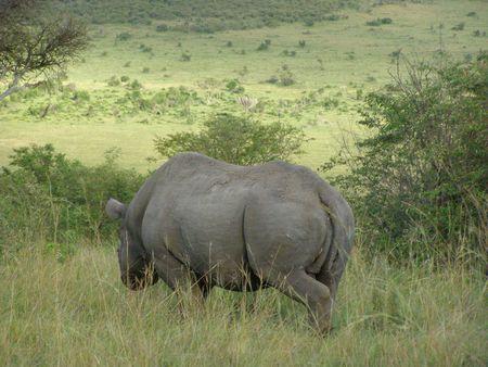 predetor: Kenya Safari, Black Rhino in Masai Mara Stock Photo