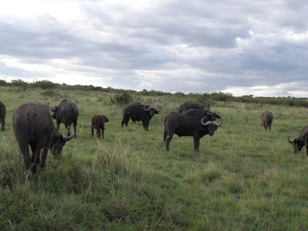 predetor: Kenya Safari, il bufalo nel Masai Mara Archivio Fotografico