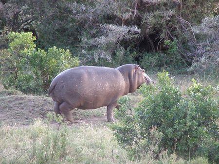aberdares: Kenya Safari, Hippo in Masai Mara Stock Photo