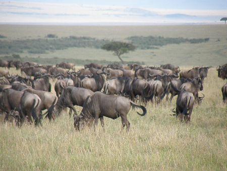 predetor: Kenya Safari, Wildebeast nel Masai Mara Archivio Fotografico