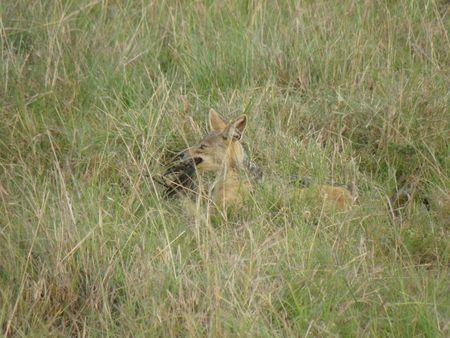 lake nukuru: Kenya Safari, Jackel in Masai Mara