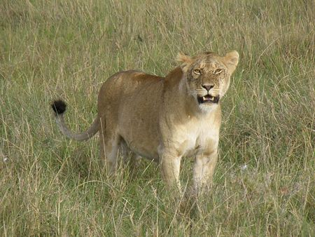lake naivasha: Kenya Safari, Lioness in Masai Mara Stock Photo