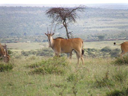 aberdares: Kenya Safari, Eland in Masai Mara Stock Photo