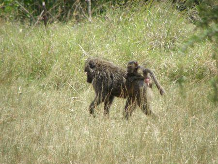 predetor: Kenya Safari, Baboon in Masai Mara