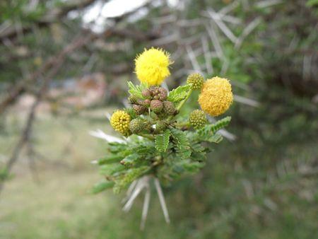predetor: Kenya Safari, Flowers on Thorn Tree in Masai Mara Stock Photo