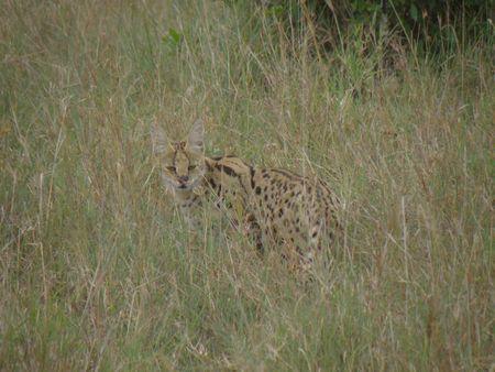 aberdares: Kenya Safari, Serval Cat in Masai Mara