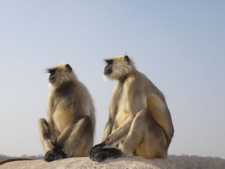 long faced: Black Faced Long Tailed Langur Monkey in Ranthambore National Park, India Stock Photo