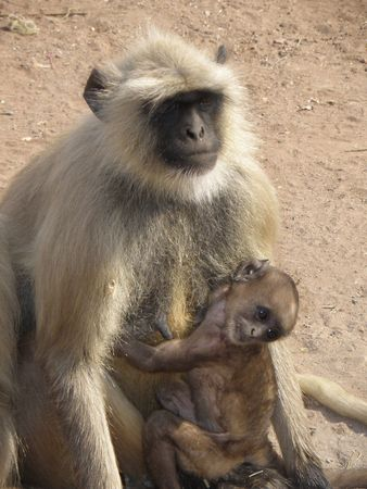 Black Faced Long Tailed Langur Monkey in Ranthambore National Park, India Stock Photo - 3986490