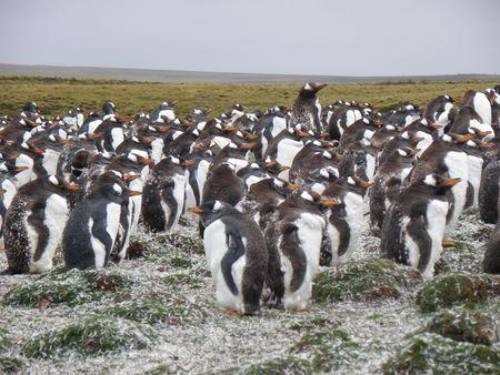 falkland: Gentoo Penguins on the Falkland Islands Stock Photo