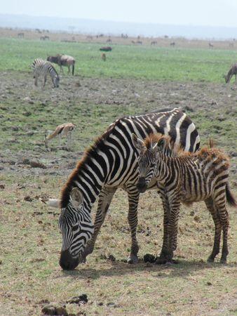 aberdares: Zebra and Calf Amboseli Stock Photo