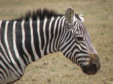 Zebra Amboseli photo