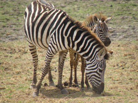 predetor: Zebra and Calf Amboseli Stock Photo