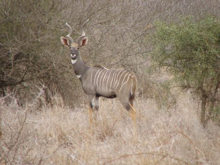 Lesser Kudu Amboseli photo