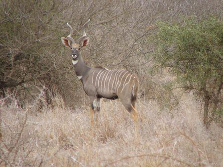aberdares: Lesser Kudu Amboseli Stock Photo