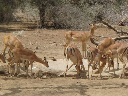 predetor: Impala Amboseli