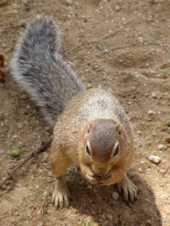predetor: Ground Squirrel Amboseli Stock Photo