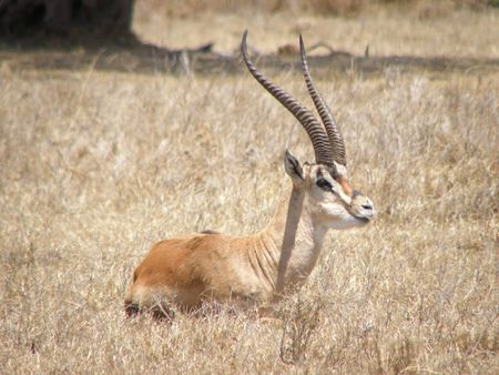 Gazelle in game reserve near mount kenya ol pejata photo