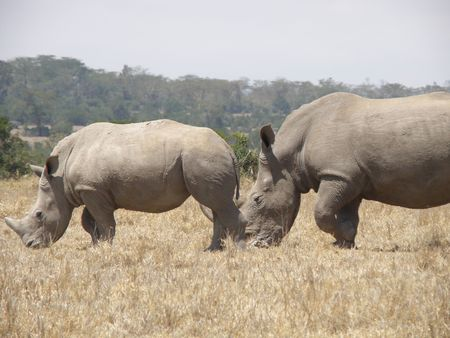 aberdares: White Rhino and year old calf  in game reserve near mount kenya ol pejata