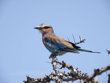 aberdares: Lilac Breasted Roller in game reserve near mount kenya ol pejata Stock Photo