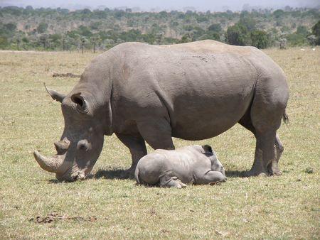 aberdares: Black rhino and 1 month old baby in game reserve near mount kenya ol pejata
