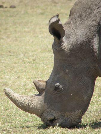 predetor: Black Rhino in game reserve near mount kenya ol pejata