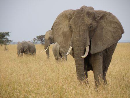 Elephant in the Masai Mara photo