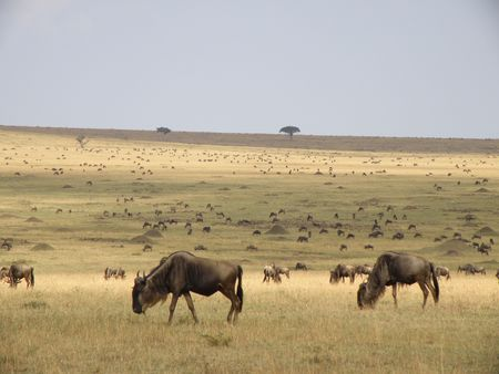 predetor: Wildebeest in the Masai Mara