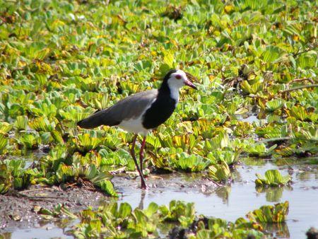 aberdares: Bird on lily pond in masai mara
