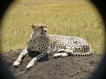 Cheetah in the masai mara photo