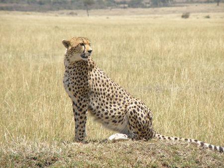 aberdares: Cheetah in the masai mara