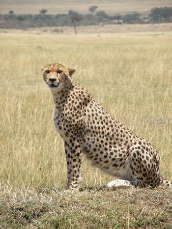 predetor: Cheetah nel Masai Mara