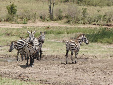 aberdares: Zebra in Masai Mara Stock Photo