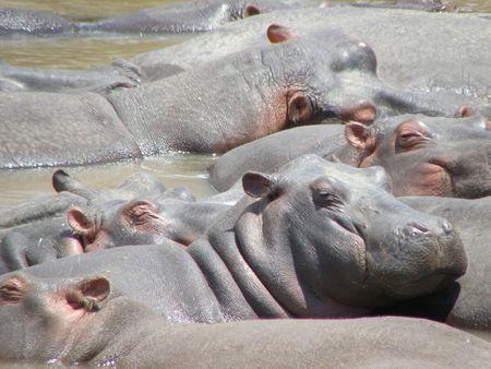 aberdares: Raft of hippo in the masai mara