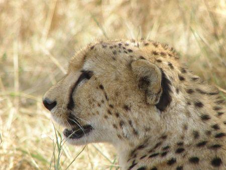 aberdares: Cheetah in the masai mara - Three Brothers