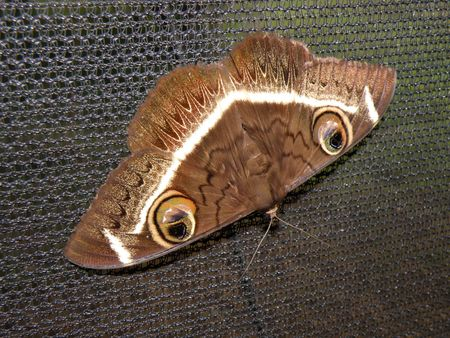 aberdares: Butterfly in the masai mara