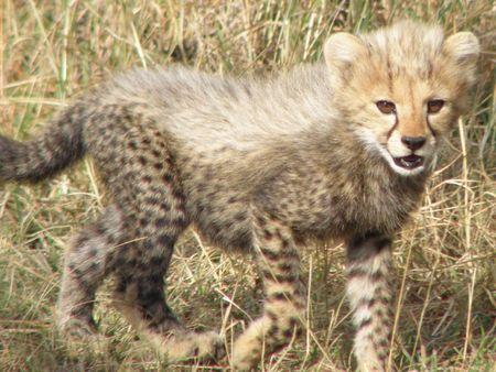 aberdares: Cheetah Cub in the masai mara Stock Photo