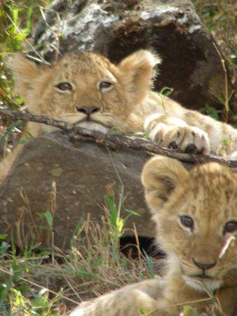 predetor: Lion Cubs nel Masai Mara Archivio Fotografico