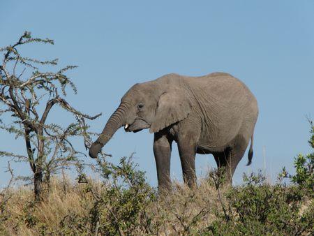 predetor: Elephant in the Masai Mara