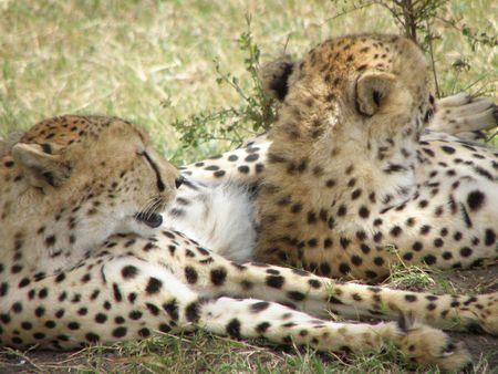 predetor: Cheetah sotto l'albero nel Masai Mara - Three Brothers Big Cat Diary Archivio Fotografico