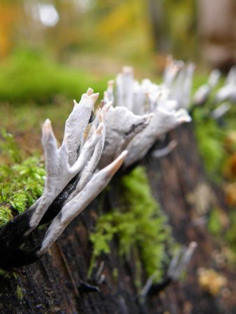 Stag Horn Fungi photo