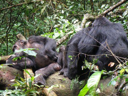 Chimpanze in Kibale forest photo