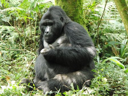 Bwindi Gorilla, Silverback, di montagna Inpenetrable Forest  Archivio Fotografico
