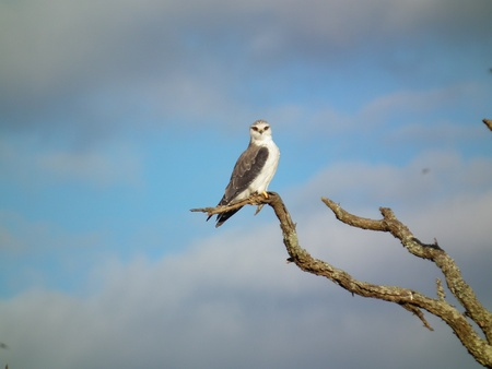 shouldered: Kite - Black Shouldered Kite Stock Photo