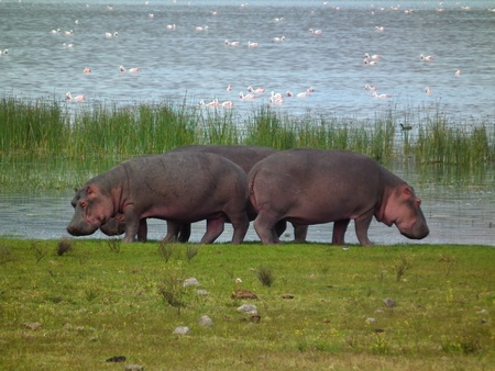 lake naivasha: Hippo by Lake Naivasha