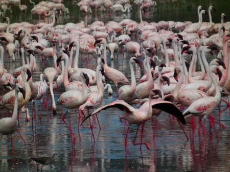 lake naivasha: Flamingo on Lake Naivasha