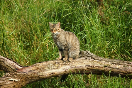 Scottish Wildcat photo