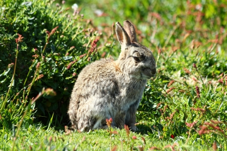 skomer island: Rabbit on Skomer Island, Wales